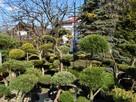 BONSAI do ogrodu ,Drzewka formowa, NIWAKI - Katowice-śląskie - 16