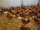 Młode kury nioski z jajkiem, odchowane kurki 20 tygodniowe
