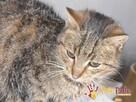 COCCOLINKA-Spokojniutka miła bura koteczka szuka kochającej