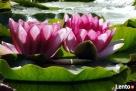 rośliny wodne/ HYDROFLORA Izabelin