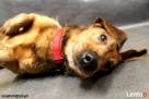 Herbuś- sympatyczny psiak w typie jamnika - 4