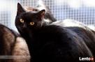 WĄSIK - przepiękny czarny kocur ... z pęcherzem
