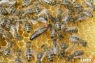 Matki pszczele, Pszczoły, Miód - sprzedam Węgierska Górka