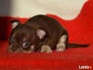 Chihuahua krótkowłose czekoladowe, niebieskie (FCI)