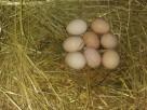 Jaja, Jajka Wiejskie Kury z wolnego wybiegu 100% Natura - 4