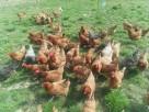 Jaja, Jajka Wiejskie Kury z wolnego wybiegu 100% Natura - 3
