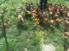 Jaja, Jajka Wiejskie Kury z wolnego wybiegu 100% Natura - 2
