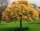 Klon jawor drzewo ozdobne żółte liście  4m średnicy