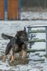 Poker roczny psiak szuka domu - 3