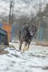Poker roczny psiak szuka domu - 2
