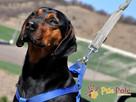 DEO-piękny psiak w typie gończego pilnie szuka domu - 2