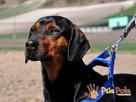 DEO-piękny psiak w typie gończego pilnie szuka domu - 4