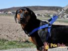 DEO-piękny psiak w typie gończego pilnie szuka domu - 3