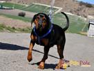 DEO-piękny psiak w typie gończego pilnie szuka domu - 1
