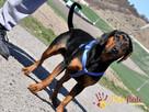 DEO-piękny psiak w typie gończego pilnie szuka domu - 7