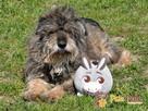HIPPIŚ-kochany, spokojny kudłacz-szukamy dobrego, spokojnegoDO - 1