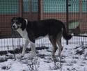 Delikatna sunia w typie dużego szwajcarskiego psa pasterskie