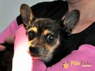 RAMBULINKA-bardzo zaniedbana psia kruszynka-szukamy DOMU - 1