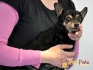 RAMBULINKA-bardzo zaniedbana psia kruszynka-szukamy DOMU - 4