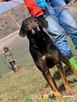 ORINEK-wspaniały, przepiękny psiak w typie gończego austriac - 2