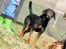 ORINEK-wspaniały, przepiękny psiak w typie gończego austriac - 1