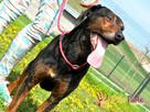 ORINEK-wspaniały, przepiękny psiak w typie gończego austriac - 6