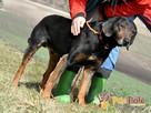 ORINEK-wspaniały, przepiękny psiak w typie gończego austriac - 8