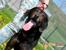 ORINEK-wspaniały, przepiękny psiak w typie gończego austriac - 4