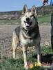 RAPUŚ-wspaniały, miły, pogodny, niewidomy psiak szuka dobreg - 2