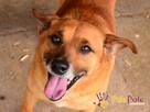 RUMIANEK-wesoły, radosny i pogodny psiak szuka kochającego d - 1