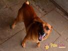 RUMIANEK-wesoły, radosny i pogodny psiak szuka kochającego d - 3