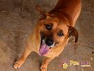 RUMIANEK-wesoły, radosny i pogodny psiak szuka kochającego d - 8