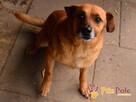 RUMIANEK-wesoły, radosny i pogodny psiak szuka kochającego d - 2