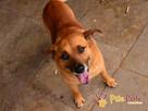 RUMIANEK-wesoły, radosny i pogodny psiak szuka kochającego d - 7