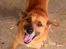 RUMIANEK-wesoły, radosny i pogodny psiak szuka kochającego d - 5