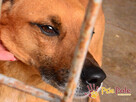 RUMIANEK-wesoły, radosny i pogodny psiak szuka kochającego d - 11