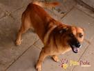 RUMIANEK-wesoły, radosny i pogodny psiak szuka kochającego d - 4