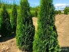 Żywopłot , WYSOKIE TUJE 2m, 2,5 m 3m 3,5 m sadzenie śląsk