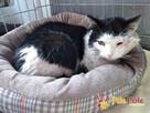 PAZUREK-kochany, spokojny, przyjazny kotek prosi o dobry dom