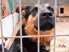 Murzynio - skrzywdzony psiak szuka doświadczonego opiekuna, - 8