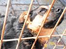Murzynio - skrzywdzony psiak szuka doświadczonego opiekuna, - 3