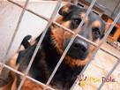 Murzynio - skrzywdzony psiak szuka doświadczonego opiekuna, - 9