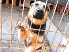 Murzynio - skrzywdzony psiak szuka doświadczonego opiekuna, - 2