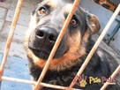 Murzynio - skrzywdzony psiak szuka doświadczonego opiekuna, - 4