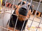Murzynio - skrzywdzony psiak szuka doświadczonego opiekuna, - 6