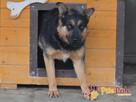 Murzynio - skrzywdzony psiak szuka doświadczonego opiekuna, - 5