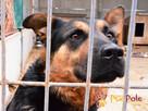 Murzynio - skrzywdzony psiak szuka doświadczonego opiekuna, - 7