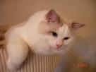 Kochane kocięta ragdoll hodowla Teo-Cat*PL Świerklaniec