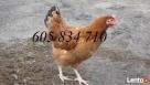 Młode kury nioski sprzedam-dowóz cały kraj GRATIS - 3