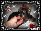 York, yorkshire terrier!!ELITARNE MICROCUDEŃKA-XXXS!Kraków-ma - 4